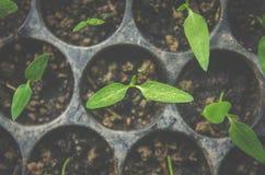 La pianta della plantula e la piantina stanno sviluppando nel vaso Fotografia Stock