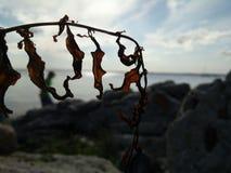 La pianta della spiaggia nelle pietre Fotografia Stock Libera da Diritti