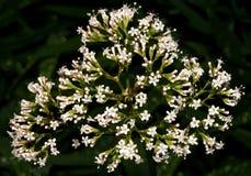 La pianta della valeriana, sostituto del valium Fotografia Stock Libera da Diritti