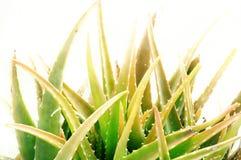 La pianta della vera dell'aloe ha isolato Immagini Stock Libere da Diritti