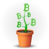 La pianta di Bitcoin si sviluppa in vaso da fiori Fotografia Stock Libera da Diritti