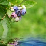 La pianta di Bluberry ha riflesso in acqua resa immagine stock libera da diritti