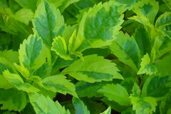 La pianta di caricatura, foglie dell'oro è inoltre un nome sacro utilizzato nelle varie proprietà promettenti Trattamento di dolo immagini stock