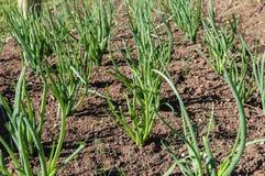La pianta di cipolla mette le piume alla verdura Immagini Stock Libere da Diritti