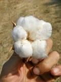 La pianta di cotone a disposizione Immagine Stock Libera da Diritti