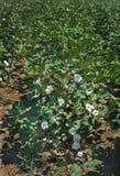 La pianta di cotone ha caricato con le capsule Immagine Stock