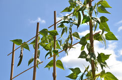 La pianta di fagiolo scavalca la scala di bambù, cielo blu nel fondo Immagine Stock