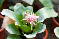 Fiore di fasciata di Aechmea Fotografia Stock Libera da Diritti