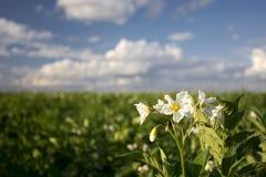 La pianta di patate fiorisce il giorno soleggiato, Midwest, U.S.A. immagine stock libera da diritti