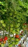 La pianta di pomodori ha riempito di frutta di maturazione Fotografia Stock Libera da Diritti