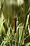 La pianta di Reed pasce nel sole fotografia stock libera da diritti