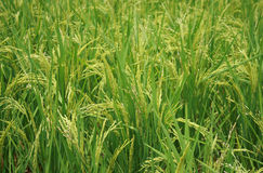 La pianta di riso Fotografie Stock