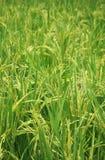 La pianta di riso Fotografia Stock