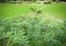 La pianta di riso nell'asiatico del giacimento del riso e la manioca coltivare il campo Fotografia Stock