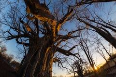 La pianta enorme del baobab nella savana africana con chiaro cielo blu ed il sole star al tramonto Vista di Fisheye da sotto Il B Immagine Stock