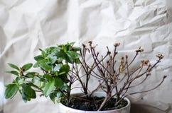 La pianta fiorisce una, l'altra met? ? morto immagini stock