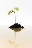 La pianta giovane si sviluppa Immagini Stock Libere da Diritti