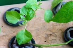 La pianta idroponica che cresce in vasi netti ha tenuto su una plancia di legno Immagine Stock Libera da Diritti