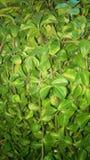 La pianta lascia il backgroung Fotografia Stock