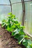 La pianta nella serra Fotografie Stock