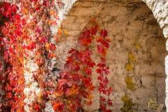 La pianta rampicante con rosso lascia nell'autunno sulla vecchia parete di pietra fotografie stock libere da diritti
