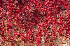 La pianta rampicante con rosso lascia nell'autunno sulla vecchia parete di pietra fotografia stock libera da diritti
