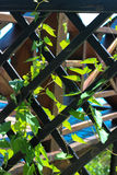 La pianta rampicante, rampicante, la pianta avvolge il suo modo attraverso la rete Immagine Stock Libera da Diritti
