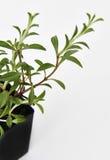 La pianta saporita lascia fresco immagini stock