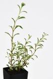 La pianta saporita lascia fresco fotografia stock libera da diritti