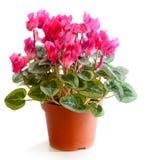 La pianta sbocciante di cyclamen Fotografia Stock