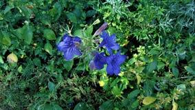 La pianta selvatica comune della petunia fotografie stock