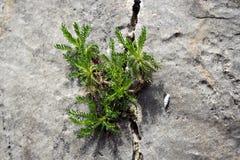 La pianta si è accoccolata nella pietra Immagine Stock Libera da Diritti