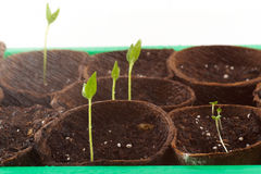 La pianta si sviluppa fotografia stock libera da diritti