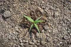 La pianta si sviluppa sulla terra del suolo Immagine Stock Libera da Diritti