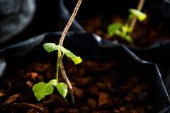 La pianta sta sviluppandosi nel vaso dell'albero con la corda Immagini Stock