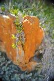 La pianta succulente si sviluppa sopra la roccia Fotografia Stock