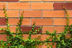 La pianta verde del creeper su un muro di mattoni Immagine Stock Libera da Diritti