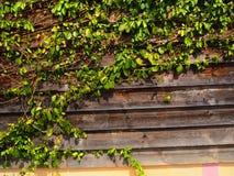 La pianta verde del Creeper sulla parete Fotografie Stock Libere da Diritti