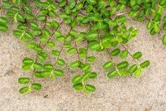 La pianta verde del rampicante sulla terra fotografia stock