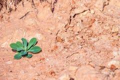 La pianta verde si sviluppa su argilla secca fotografie stock libere da diritti