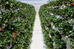 La piantagione dell'azienda agricola della fragola ha riempito di frutta Fotografia Stock Libera da Diritti