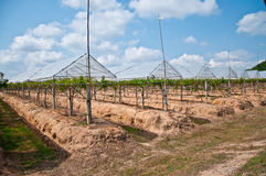 La piantagione dell'uva Immagini Stock