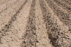 La piantagione della manioca dopo comincia stagione di coltivazione Fotografia Stock Libera da Diritti