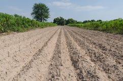 La piantagione della manioca dopo comincia stagione di coltivazione Fotografie Stock Libere da Diritti