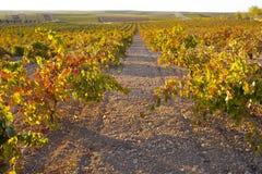 La piantagione delle viti rema nell'ambito della luce del tramonto di ottobre a Tierra de Ba Immagine Stock Libera da Diritti