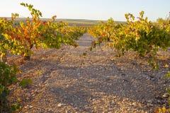 La piantagione delle viti rema nell'ambito della luce del tramonto di ottobre a Tierra de Ba Fotografie Stock