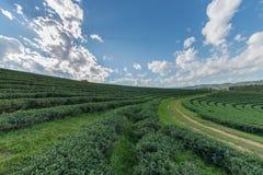 La piantagione di tè con il cielo blu bianco della nuvola ed il sole si accendono Fotografia Stock