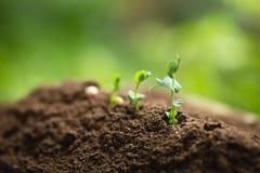 La piantatura della crescita dell'albero degli alberi che semina il quarto seme di punto è un albero fotografia stock