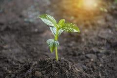 La piantatura della crescita dell'albero degli alberi che semina il seme è un albero Verde, molla immagini stock libere da diritti