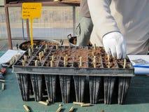 La piantatura stacca in vasi della pianta con sottrae in una scuola materna della pianta fotografia stock